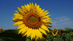 Sunflower flover Stock Photography