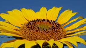 Sunflower flover Royalty Free Stock Images