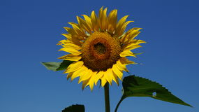 Sunflower flover Royalty Free Stock Photography