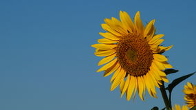 Sunflower flover Royalty Free Stock Image