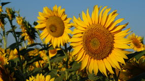 Sunflower flover Royalty Free Stock Photos
