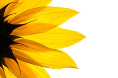 Sunflower flower royalty free stock photography