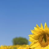 Sunflower, flower. Stock Image
