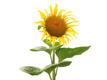 Sunflower flower. Yellow Helianthus Annuus Sunflower flower - isolated over white background Royalty Free Stock Images