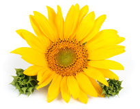 Sunflower flower. On a white background Stock Photo