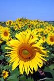 Sunflower, flower. Bloom, sun, field Royalty Free Stock Images