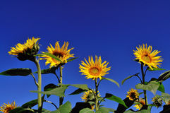 Sunflower flower. Under the blue sky of the sunflower in full bloom Stock Image