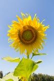 Sunflower. Flower against a blue sky Stock Photos