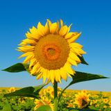 Sunflower flower against the blue sky Stock Images