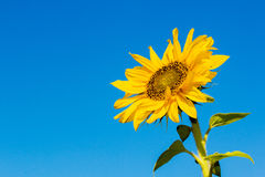 Sunflower flower against the blue sky closeup Royalty Free Stock Image