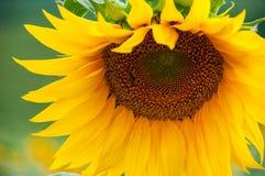Sunflower flower. Appealing yellow sunflower flower closeup Stock Photos