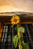 Sunflower flower on window. Sunflower flower on the background of the old wooden house. Flower on front of a window royalty free stock images