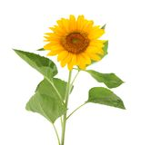 Sunflower flower Stock Photo