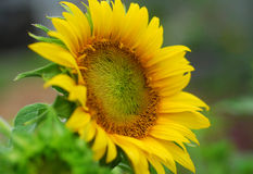 Sunflower flower Stock Photos