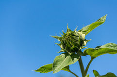 Sunflower with flower bud Royalty Free Stock Images