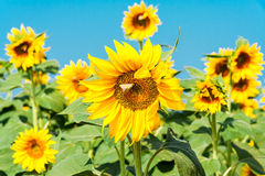 Sunflower flower with a butterfly. On the background of other sunflowers and blue sky. The background is blurred royalty free stock photography