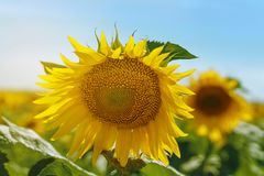 Sunflower flower close-up royalty free stock photos