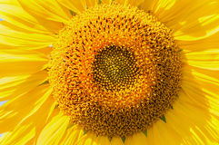 Sunflower flower close-up Stock Images