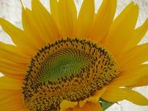 Sunflower flower close-up, seeds pattern. Sunflower flower close-up with sunflower seeds that make beautiful pattern Royalty Free Stock Photo