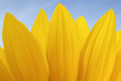 Sunflower. Yellow flower - sunflower. Close up of  sunflower petals  against blue  sky. Summer abstract floral background Royalty Free Stock Photo