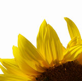 Sunflower flower. Closeup isolated on background White Stock Photography