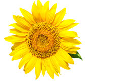 Sunflower flower closeup on white background Stock Photo