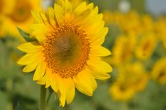 Sunflower flower in the field.  stock photography