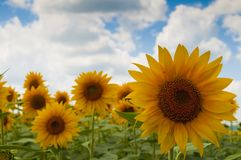 Sunflower flower on field Royalty Free Stock Photo
