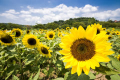 Sunflower in flower field Stock Photos
