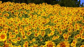 Sunflower, Flower, Field, Plant Stock Images