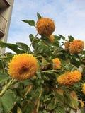 Sunflower. Flower, flowers, plants, plant, sunflower,sky,summer Stock Image