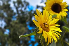 Sunflower with a flower fly. Resting on the seed Royalty Free Stock Photo
