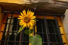 Sunflower flower in front of a window royalty free stock photos