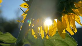 Sunflower flower in the glare of the sun nature stock video footage