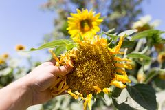 Sunflower flower in hand. In the park in nature Stock Image