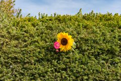 A sunflower with flower in a hedge. In the summer Royalty Free Stock Photo