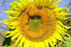 Sunflower flower (Helianthus annuus) Stock Photo