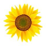 Sunflower flower or Helianthus isolated on white background Stock Photos