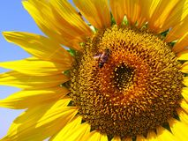 Sunflower, Flower, Honey Bee, Yellow Stock Photography