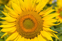 Sunflower Flower. Royalty Free Stock Photo