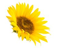 Sunflower Flower Isolated Royalty Free Stock Photos