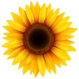Sunflower Flower Isolated Stock Photo