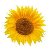 Sunflower flower isolated over white. Royalty Free Stock Photos