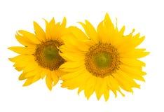 sunflower flower isolated stock photo