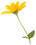 Sunflower flower. Isolated on white background Stock Photos