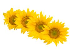 sunflower flower isolated royalty free stock images