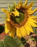Sunflower flower royalty free stock photo