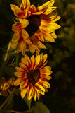 Sunflower flower. On a meadow on sunny day Stock Image