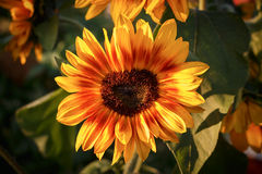 Sunflower flower. On a meadow on sunny day Stock Images