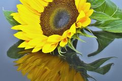 Sunflower flower with mirroring. Stock Images